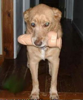 Photo of a dog carrying a vibrator